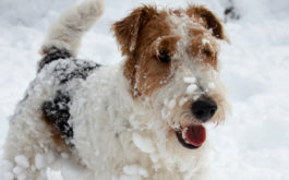 In the cold weather, your dog's toes could be suspectible to frostbite