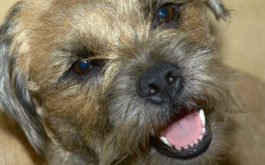 Keeping your dog's teeth clean will prevent a dental disease