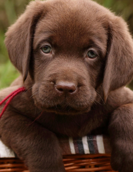A brown-haired puppy relaxing in a basket deserves a great dog name