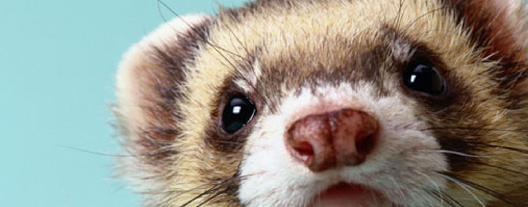 A pet ferret who knows that his owner is readying to groom him