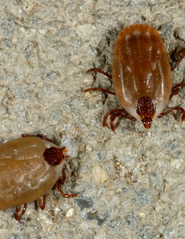 A pair of ticks may be carrying diseases like Lymes, paralysis and fever