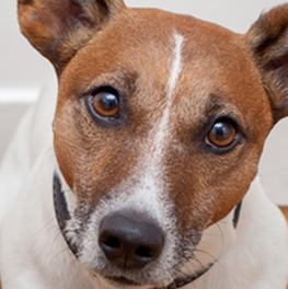 Some adopted dogs may already be trained to behave and sit