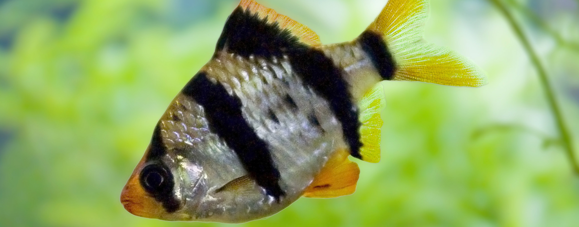 Introducing a new fish species to your tank, beware of aggression