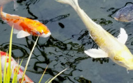You can populate your backyard pond with different types of Koi fish