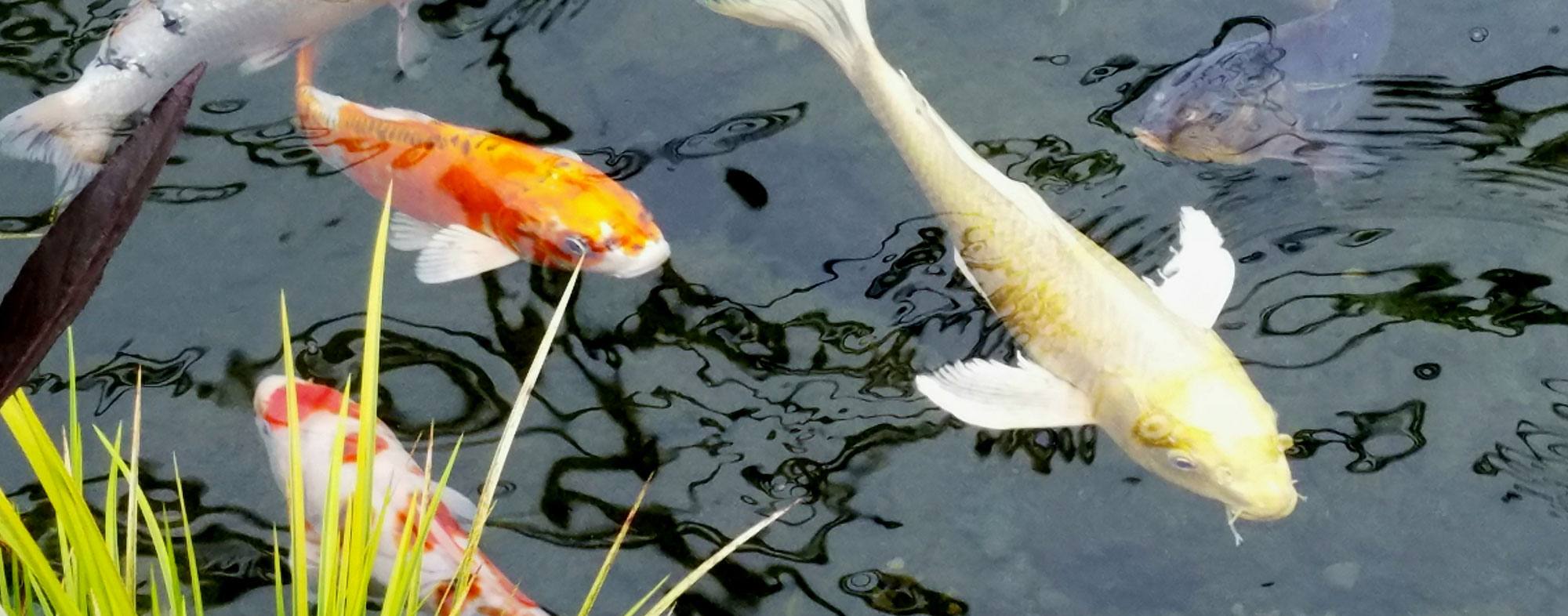 Things to consider before starting a koi fish pond hartz for Koi pond you can swim in