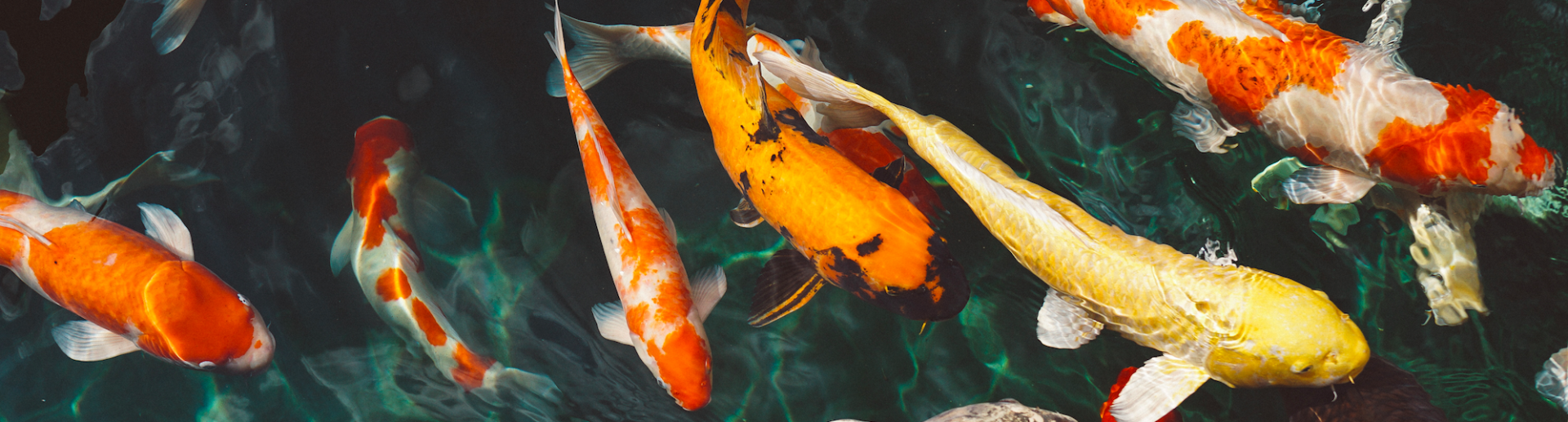 Things to consider before starting a koi fish pond hartz for Keeping koi in a pond