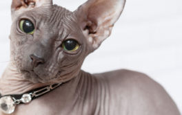 Adorn your bald cat with the most luxurious gemmed jewelry