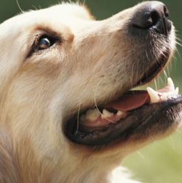 It's paramount to care for your canine's teeth to keep them shiny