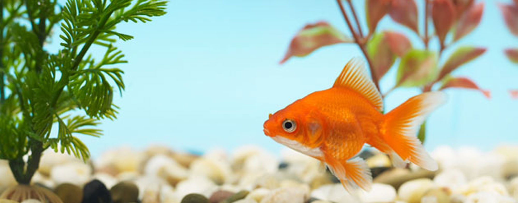 Your fish's aquarium shouldn't be surrounded by too much sunlight