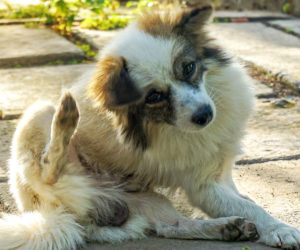 Dog scratching continuously. How do you know if your dog has fleas?