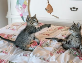 kittens-cats-foster-playing-160755