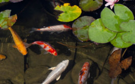 Supply your fish with an outdoor aquarium populated with live plants