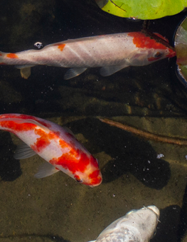 Your outdoor aquarium should give your fish plenty of natural shade