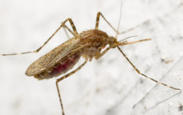If a mosquito were to bite your dog, it could transmit an infection
