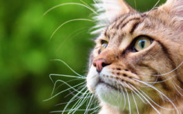 On average, the lifespan of your outdoor cat will be 4 years shorter