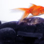 When swimming in his tank, your fish may be suffering from a disease
