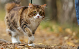 Your cat will eventually enjoy walking on a leash outside with you