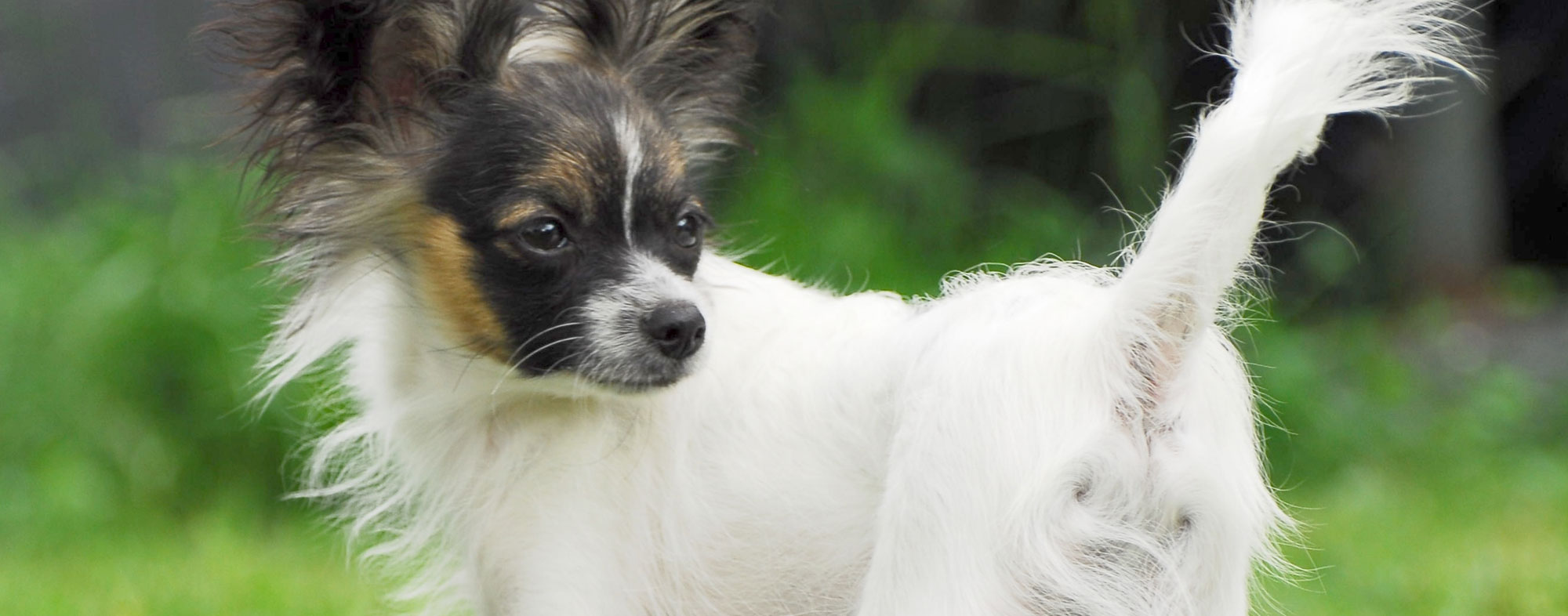 A raised tail also implies the body language of a confident dog