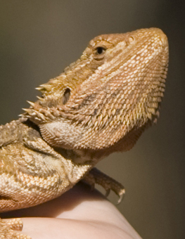 An easy habitat for your pet reptile will affect their health