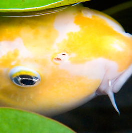 A fresh water pond is healthiest for your yellow fish