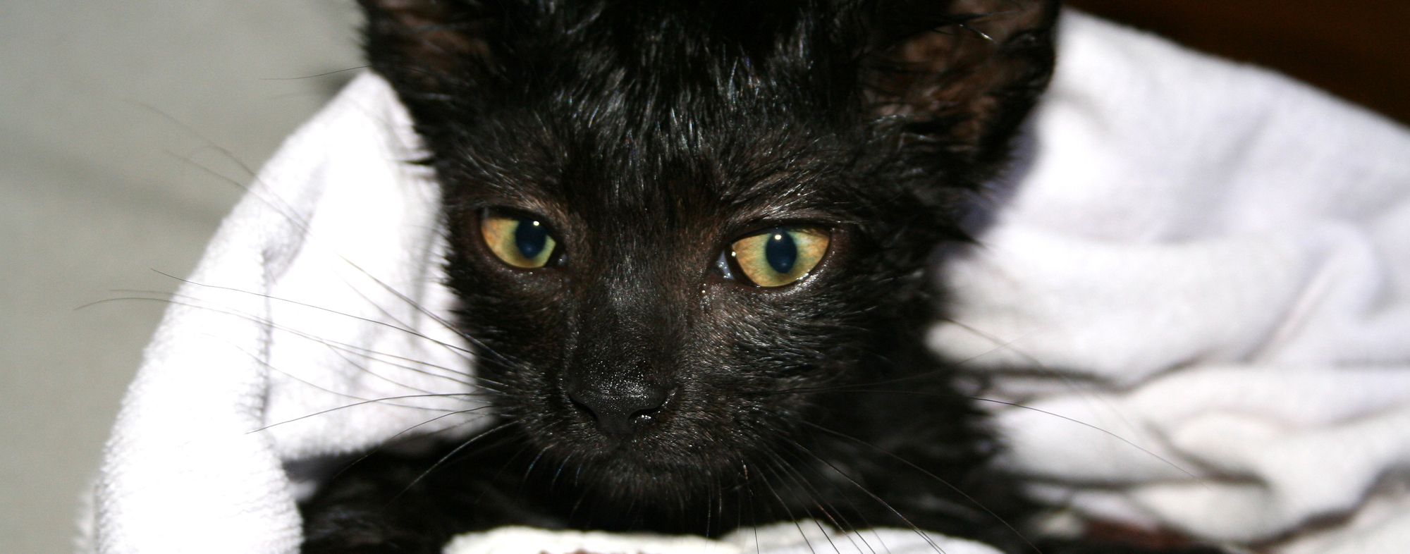 Wrapping a black kitten in a towel after bathing them