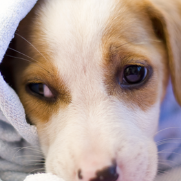 Wrapping a tiny puppy in a towel after grooming them