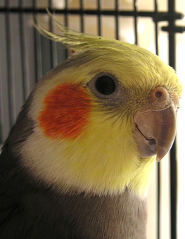 An adult pet bird exhibiting normal behavior in its cage