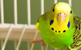 A fat green and yellow bird, perched in its cage