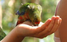Human training a pet bird to eat out of their hand