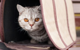 Be sure to bring a comfortable carrier when you adopt a cat