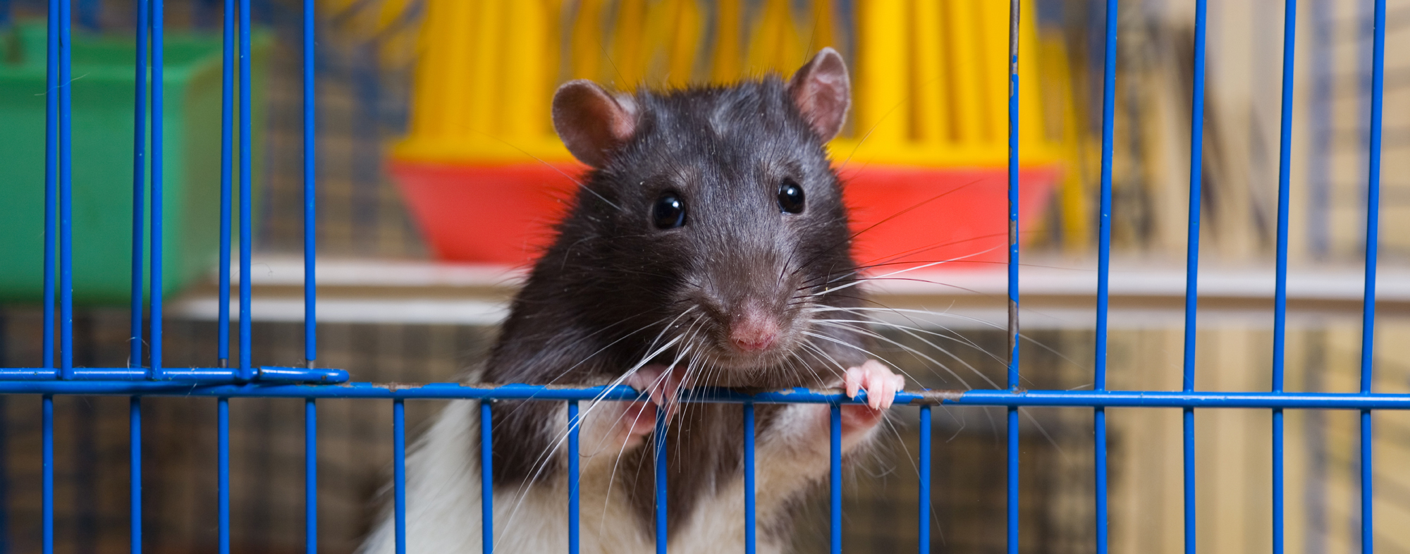 Before going away, provide your small pet rodent with a caretaker