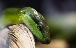 Pet reptiles like snakes enjoy lounging on branches inside their cages