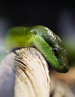 Small pet snake may be uncomfortable about traveling with you