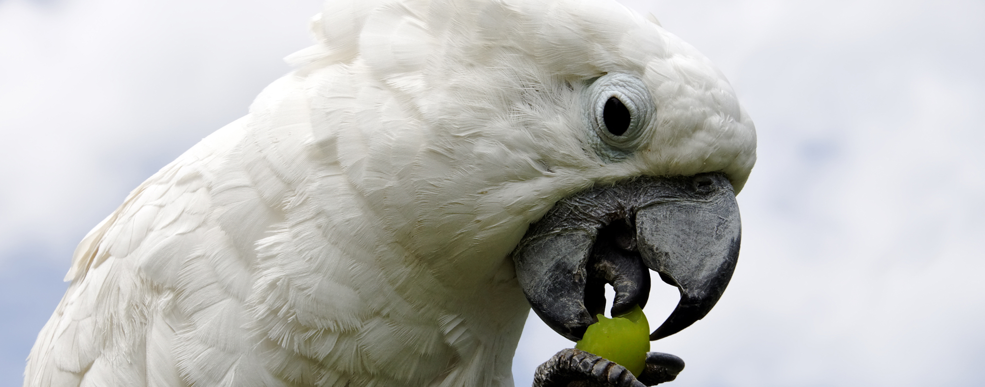 Caring for your bird means feeding them a diet containing fruits