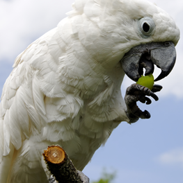 A beautiful pet parrot eating a piece of fruit, perched on a branch