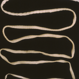 The full-length body of a parasite that lives inside of a cat