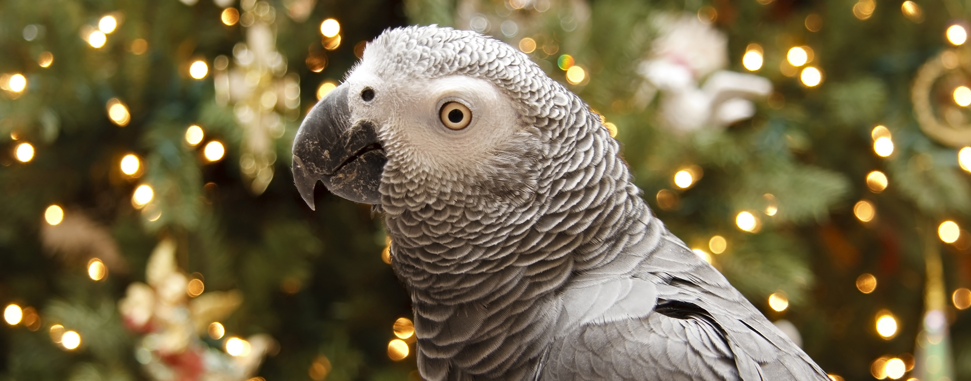 A grey winged parrot receiving extra care during the holidays