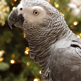 Pet parrot perched in front of holiday lights and decorations