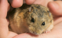 Adopting a gerbil as your child's first household pet