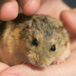 Gerbil calmly seated in owner's palm as family's first pet