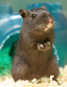 A layer of pellet bedding keeps your pet rodents healthy and happy