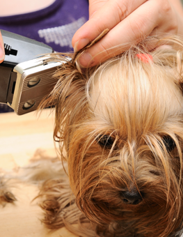 Yorkshire Terrier being groomed by man with hair clipper for dogs