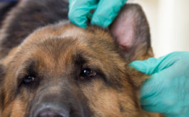 Inspecting a dog's ears before cleaning them with a home remedy