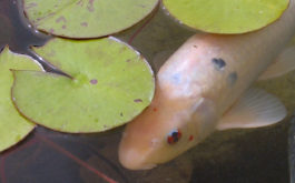 Outbreak of algae bloom in a pond, diverting oxygen from pet fish