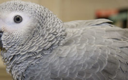 Only the calmest types of parrots will cease from biting or screaming