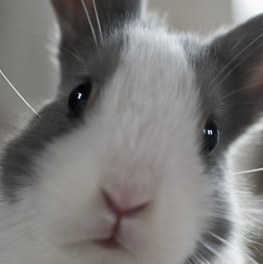 A pet rabbit fact: small as they may be, they can get overweight quickly