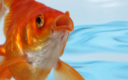 Open-mouthed goldfish swimming inside of a freshwater aquarium
