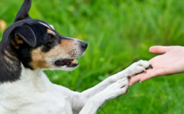 Holding out your palm, you can train your small dog to offers their paw