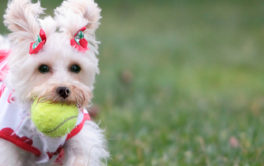 Small dog clutching a tennis ball in their mouth, dressed in clothing
