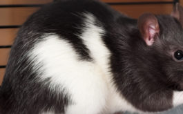 Large black and white pet rat nibbling on a seed inside of its cage